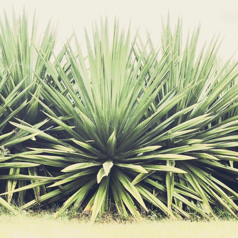 Plantas da agave em Kula em Maui foto de stock
