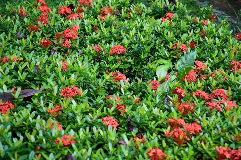 Plantas da cama de flor de flores vermelhas do ixora fotografia de stock