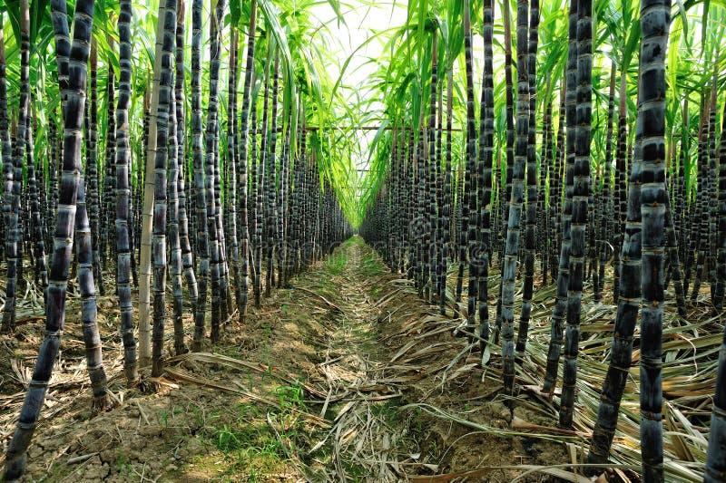Plantas da cana-de-açúcar fotos de stock