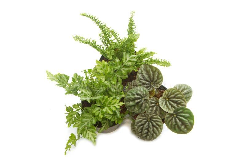 Plantas da casa com as folhas do verde no potenciômetro fotos de stock royalty free