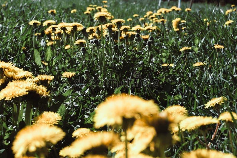 Plantas da cura Dente-de-leão isolado no fundo da natureza imagens de stock