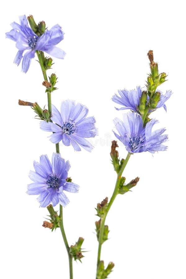 Plantas da cura: Intybus comum do Cichorium da chicória - na frente do fundo branco fotos de stock