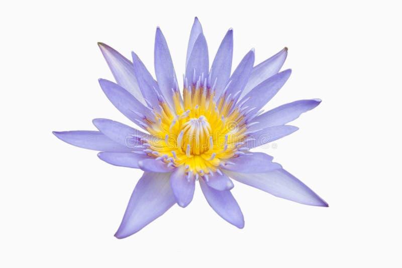 Plantas da flor de Lotus no fundo branco isolado - (Ascendente próximo) fotos de stock royalty free