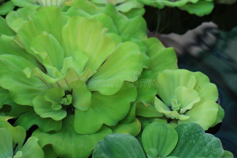 Plantas da lentilha-d'água da água fotografia de stock