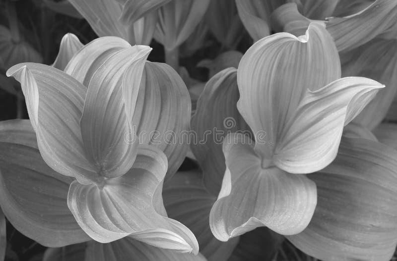 Plantas da orelha da mula em preto & no branco
