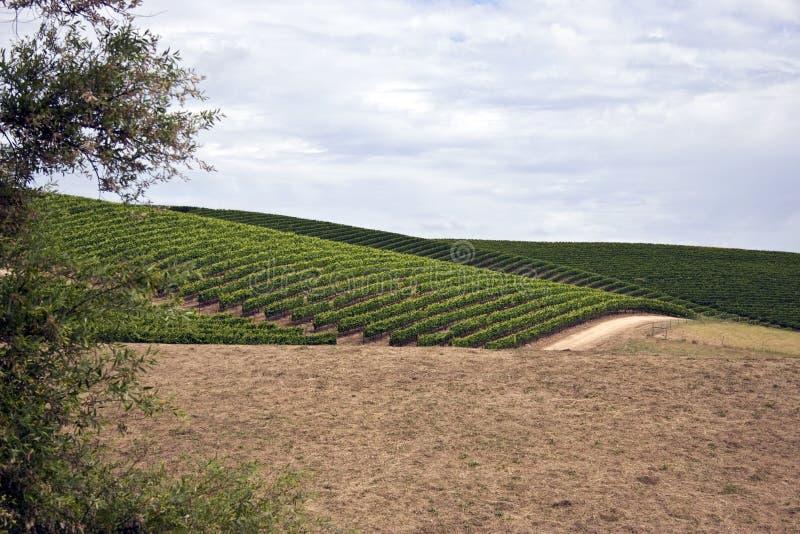 Plantas da uva para vinho do vale de Sonoma imagem de stock royalty free