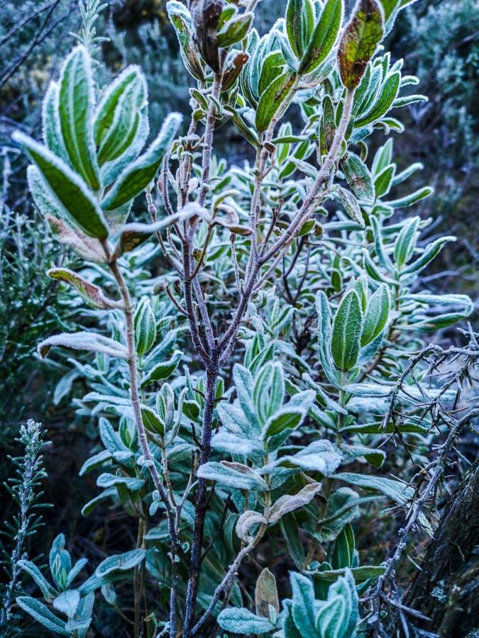 Plantas das montanhas com geada fotografia de stock