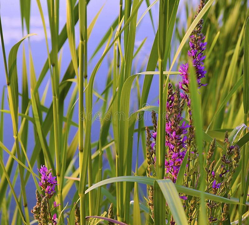 Plantas das reservas de água - Ivan-Chai fotografia de stock