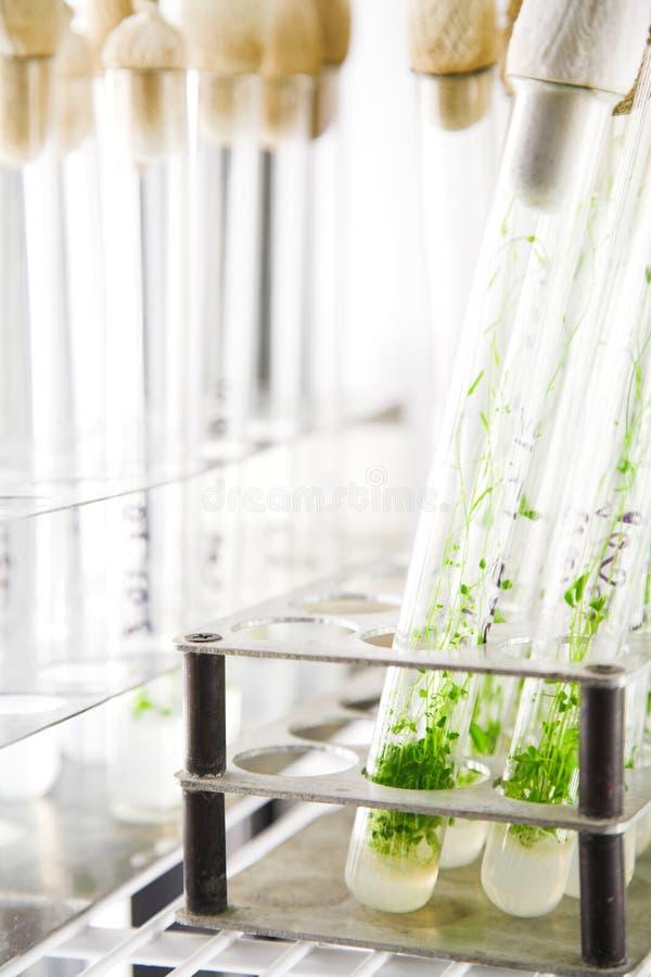 Plantas de Arabidopsis fotografia de stock