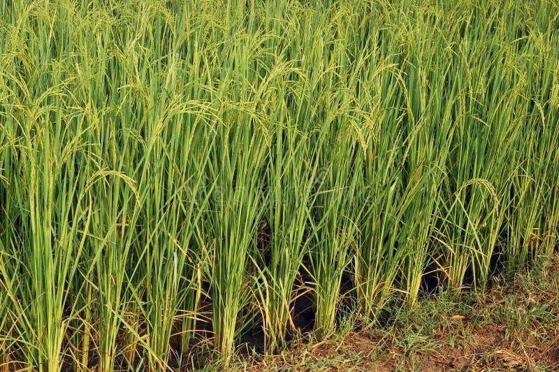 Plantas de arroz fotografia de stock royalty free