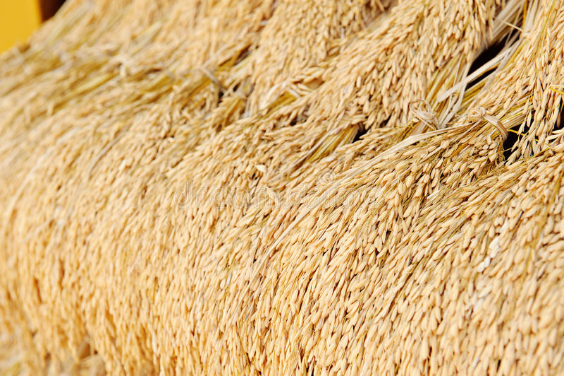 Plantas de arroz fotografía de archivo