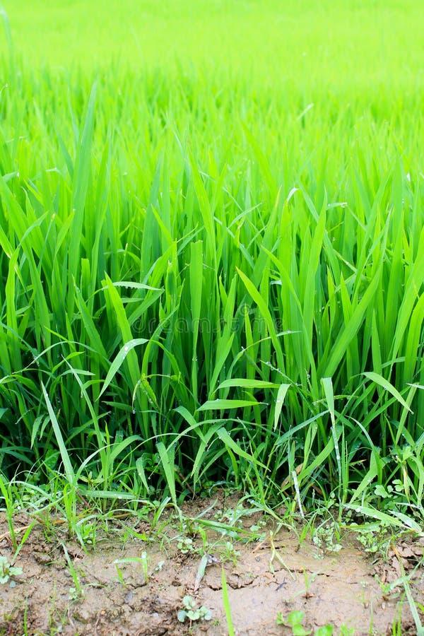Plantas de arroz en Vietnam imagenes de archivo