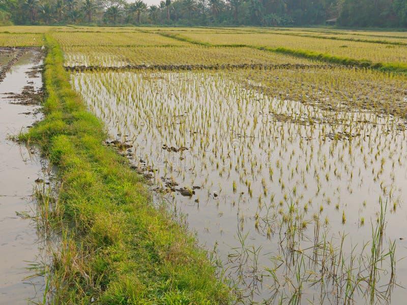 Plantas de arroz novas em um campo de almofada enchido com um trajeto de passeio coberto com as gramas verdes na área rural no no imagens de stock royalty free