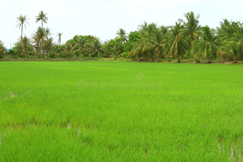 Plantas de arroz verdes vibrantes que crescem no campo de almofada com árvores e palmeiras de banana no contexto foto de stock