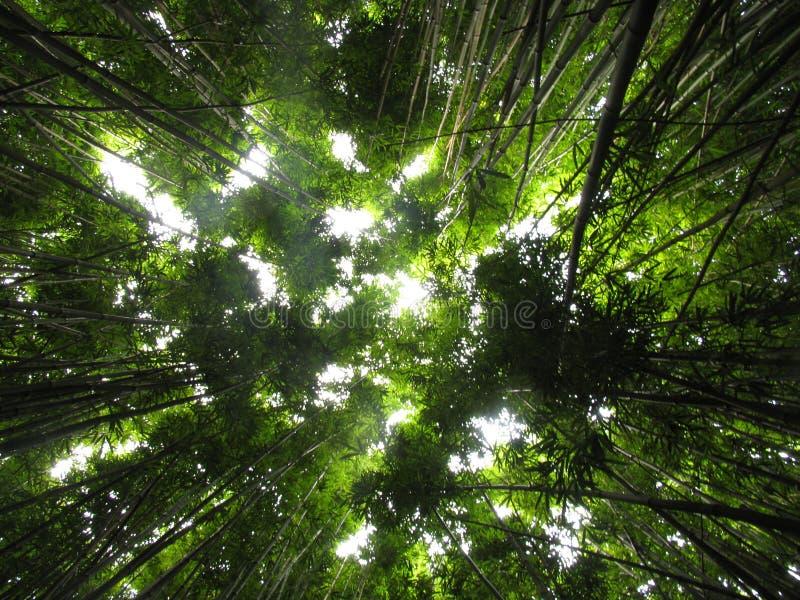 Plantas de bambu da selva foto de stock royalty free