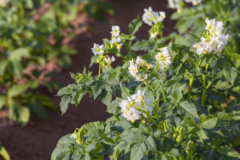Plantas de batata imagem de stock