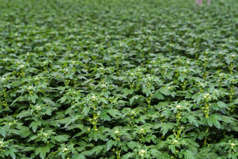 Plantas de brotamento novas do crisântemo em um berçário fotografia de stock royalty free