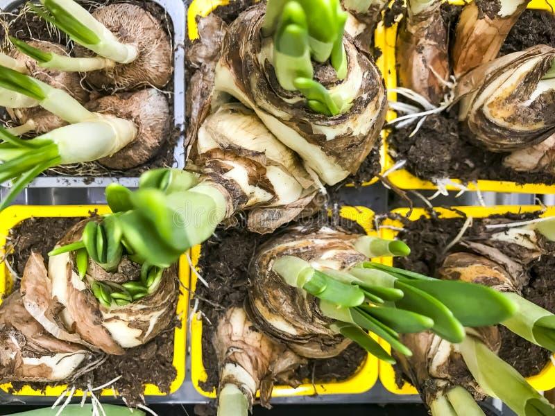 Plantas de bulbo en venta en envases foto de archivo libre de regalías