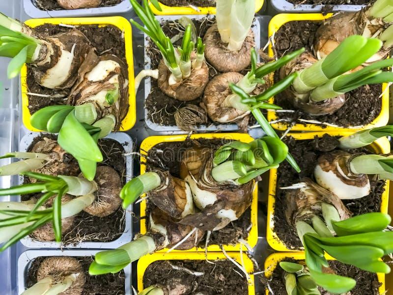 Plantas de bulbo para a venda em uns recipientes imagens de stock
