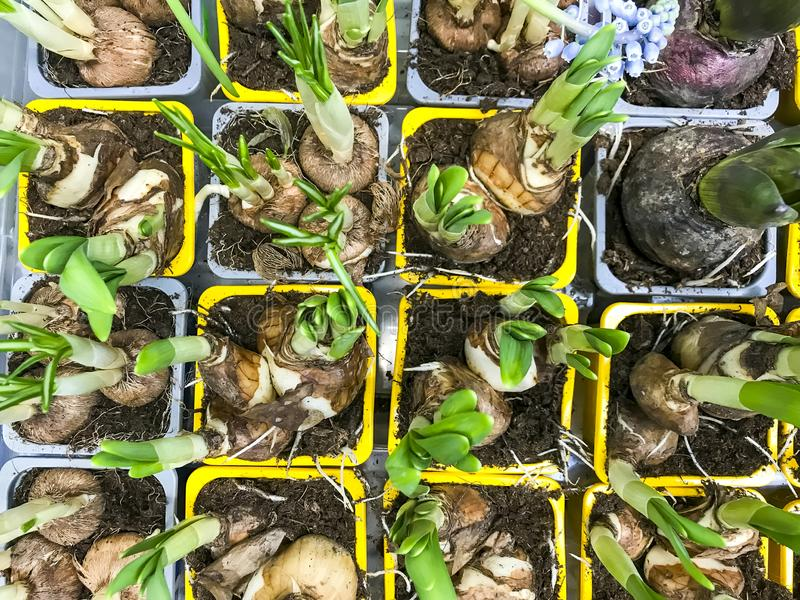 Plantas de bulbo para a venda em uns recipientes imagem de stock