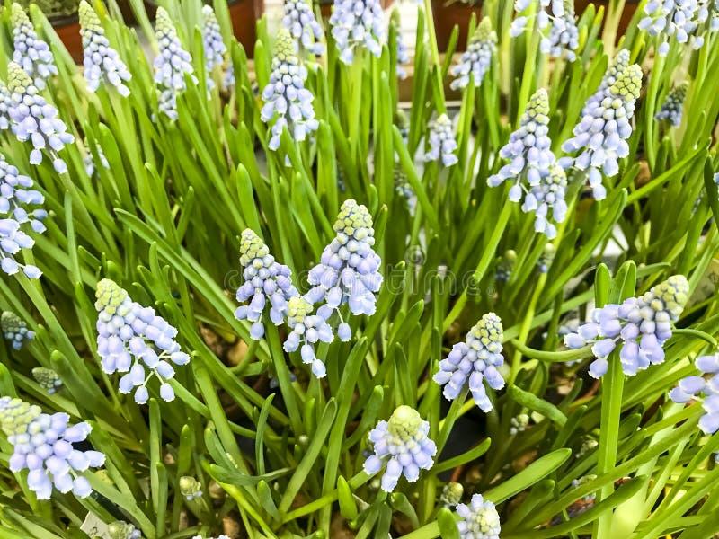Plantas de bulbo para a venda em uns recipientes foto de stock royalty free