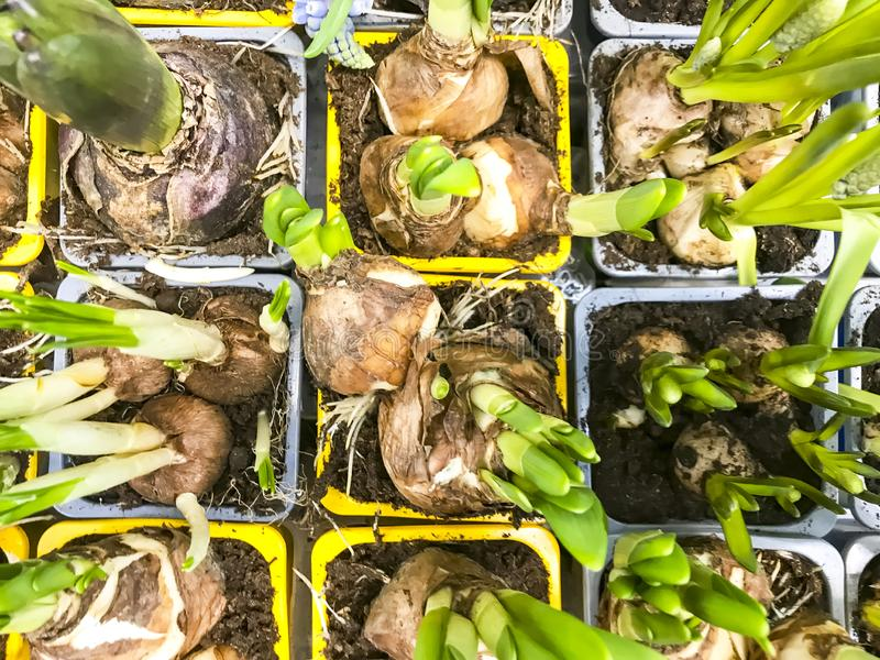 Plantas de bulbo para a venda em uns recipientes fotografia de stock royalty free