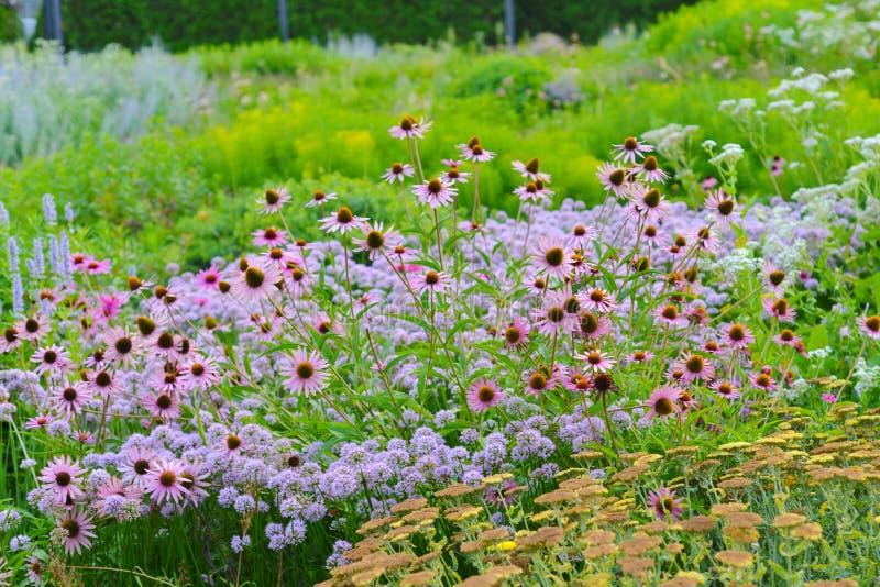 Plantas de Coneflower en verano en el jardín de Chicago, los E.E.U.U. Flor herbario de la flor del echinacea natural del rosa con imagen de archivo libre de regalías