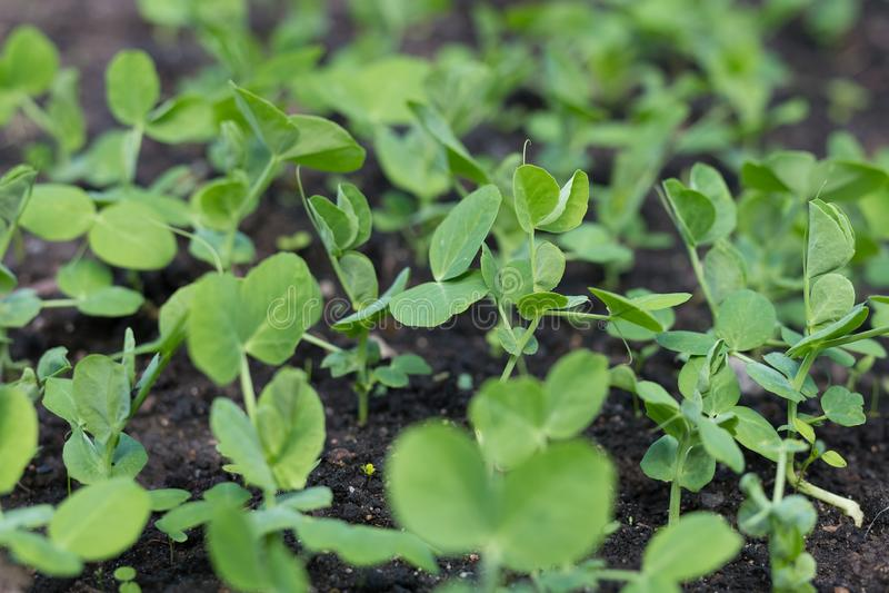 Plantas de ervilha novas no jardim adiantado da mola Mola fotos de stock royalty free