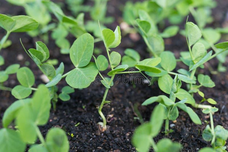 Plantas de ervilha verde novas no jardim adiantado da mola Mola imagens de stock