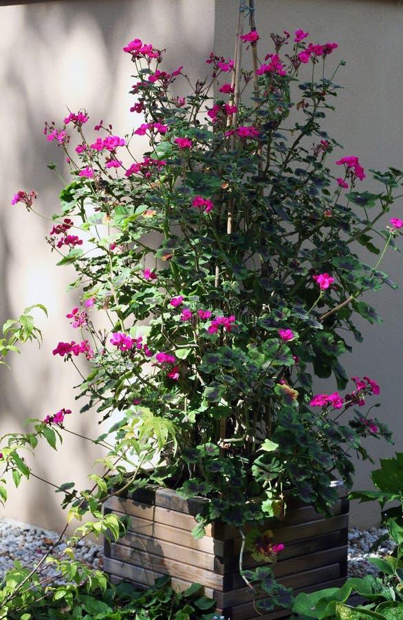 Plantas de escalada do pelargonium imagens de stock