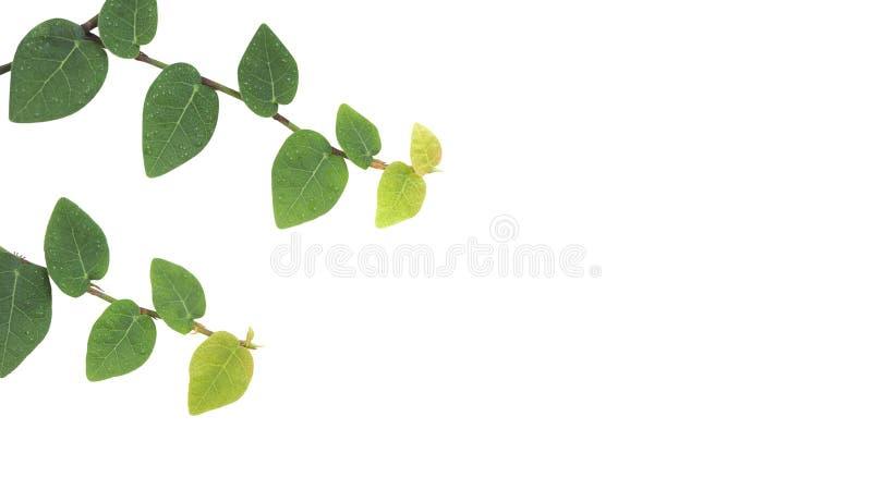 Plantas de escalada sobre fondo blanco, higo trepador, marfil Árbol trepador en la pared Aislado en blanco fotos de archivo libres de regalías