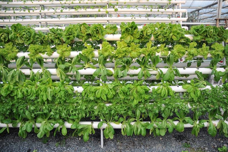 Plantas de estufa hidropónicas imagem de stock royalty free