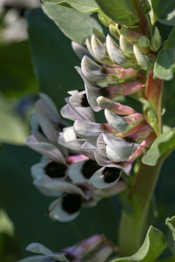 Plantas de fava na flor, variedade Witkiem Manita, Faba do Vicia igualmente conhecido como o feijão de campo, fava, sino, cavalo, imagem de stock royalty free