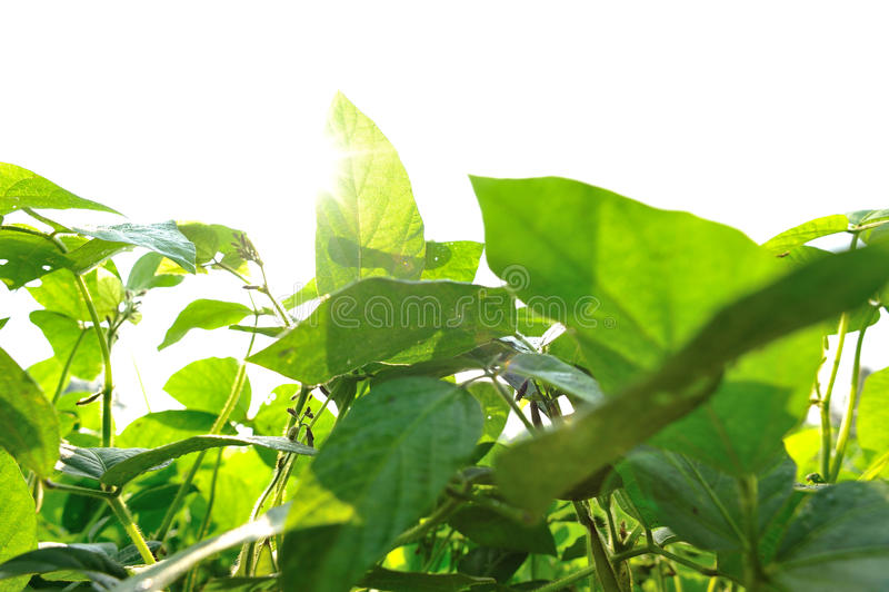 Plantas de feijão de soja imagem de stock