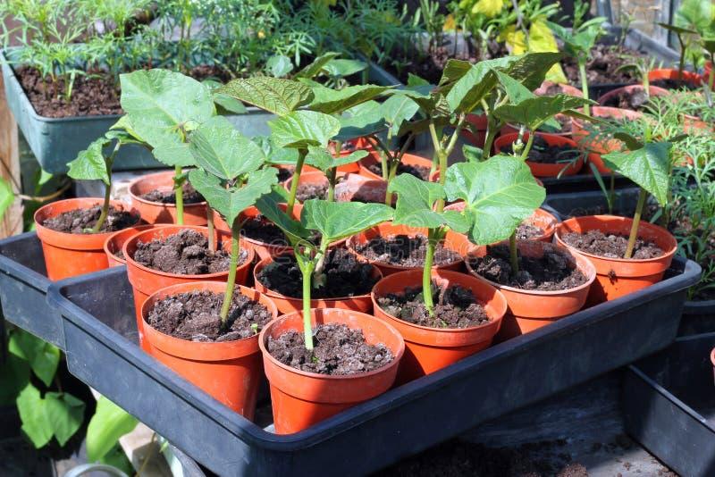 Plantas de feijão em uns potenciômetros. fotos de stock royalty free
