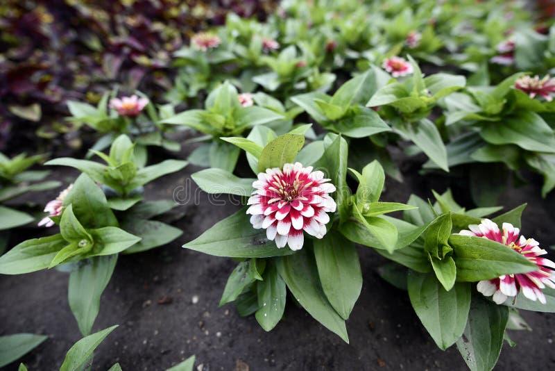 Plantas de florecimiento de las angioespermas imágenes de archivo libres de regalías