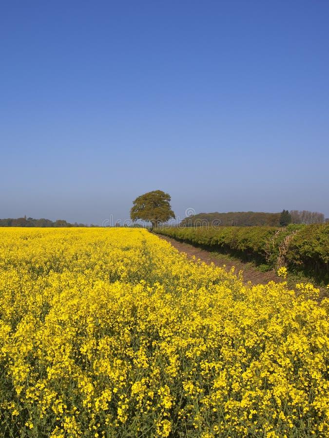 Plantas de florescência amarelas da violação de semente oleaginosa fotos de stock royalty free