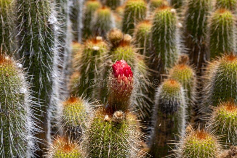 Plantas de florescência do cacto fotografia de stock royalty free