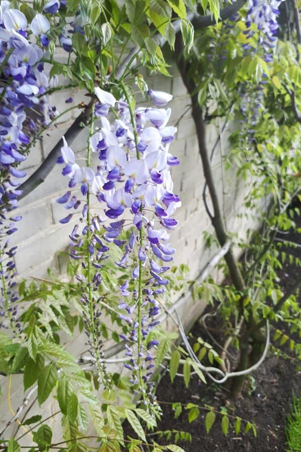 Plantas de floresc?ncia da glic?nia no fundo da parede da casa fotografia de stock