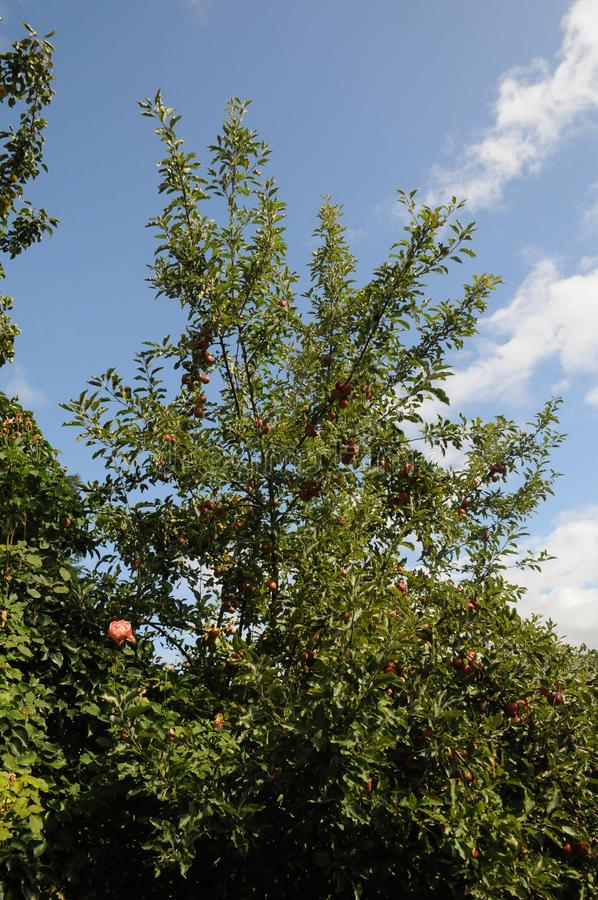 PLANTAS DE FLUXOS DE ALTA ROSA NO MUNDO BUCKLEY fotos de stock