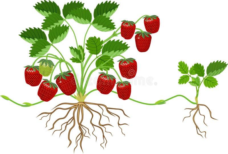 Plantas de fresa con hojas verdes, bayas rojas maduras e hijitas libre illustration