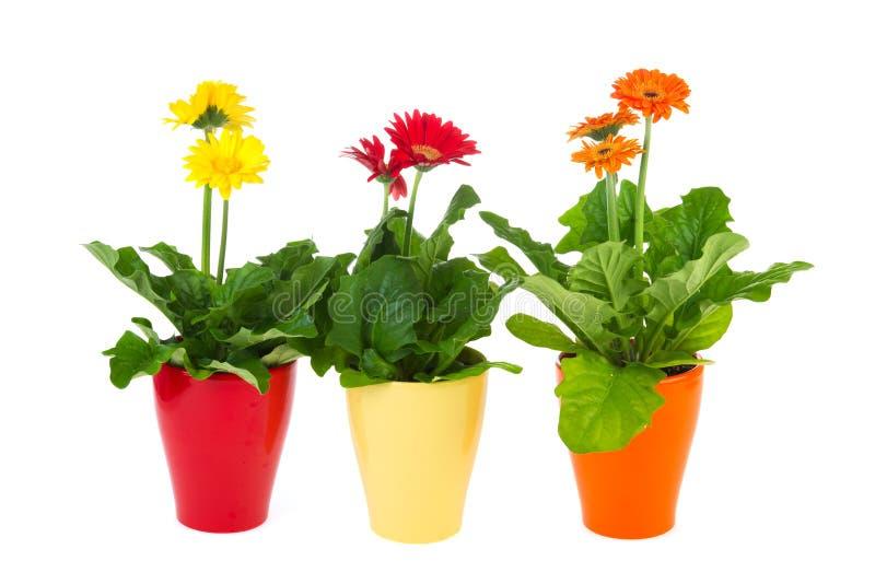 Plantas de Gerber fotografia de stock