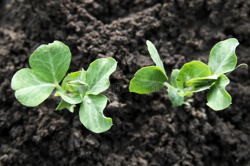 Plantas de guisante verde foto de archivo