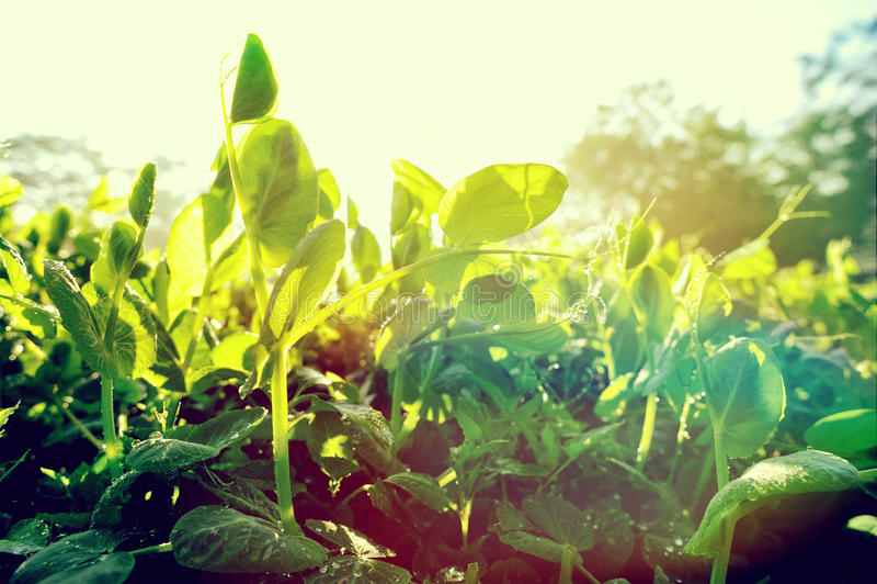 Plantas de guisante verde en crecimiento foto de archivo libre de regalías