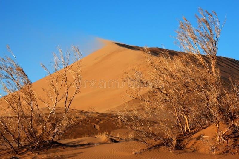 Plantas de Haloxylon y duna de arena fotografía de archivo