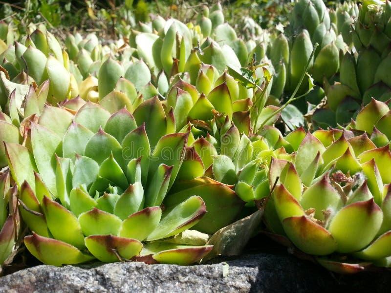Plantas de jardín ornamental de Echeveria imagen de archivo