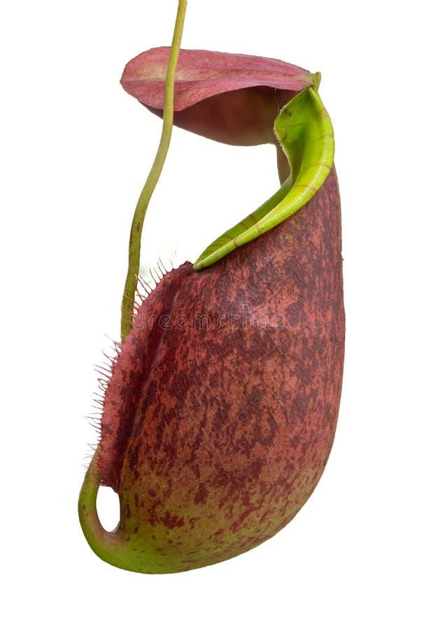 Plantas de jarra tropical y tazas del mono Nepenthes, trampas de la trampa En el fondo blanco fotos de archivo libres de regalías