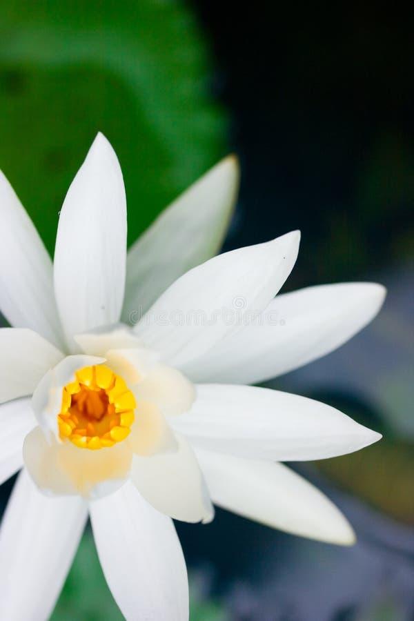Plantas de lótus verdes em Ásia fotos de stock royalty free