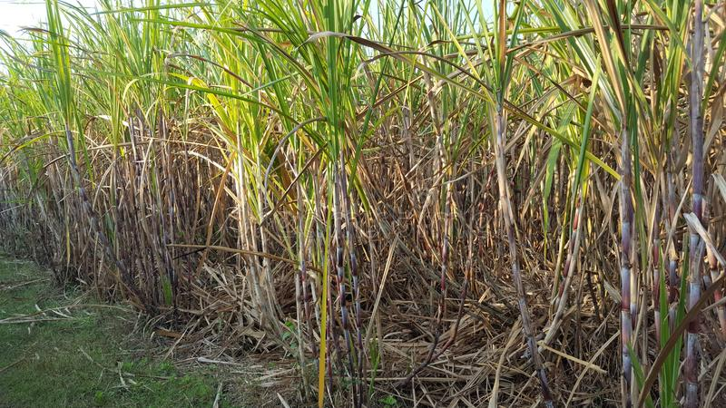 Plantas de la caña de azúcar con diversas variantes fotografía de archivo libre de regalías
