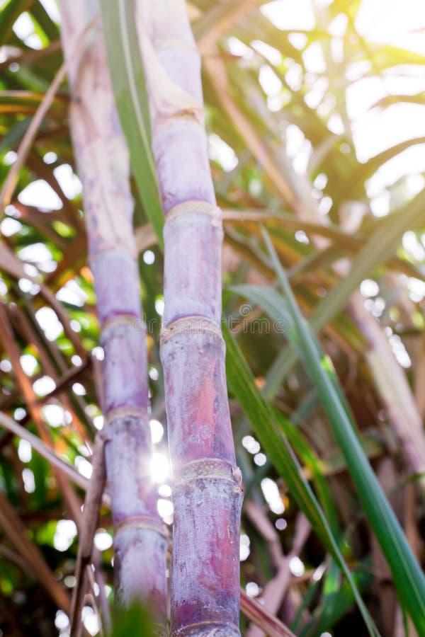 Plantas de la caña de azúcar en crecimiento en el campo imagenes de archivo